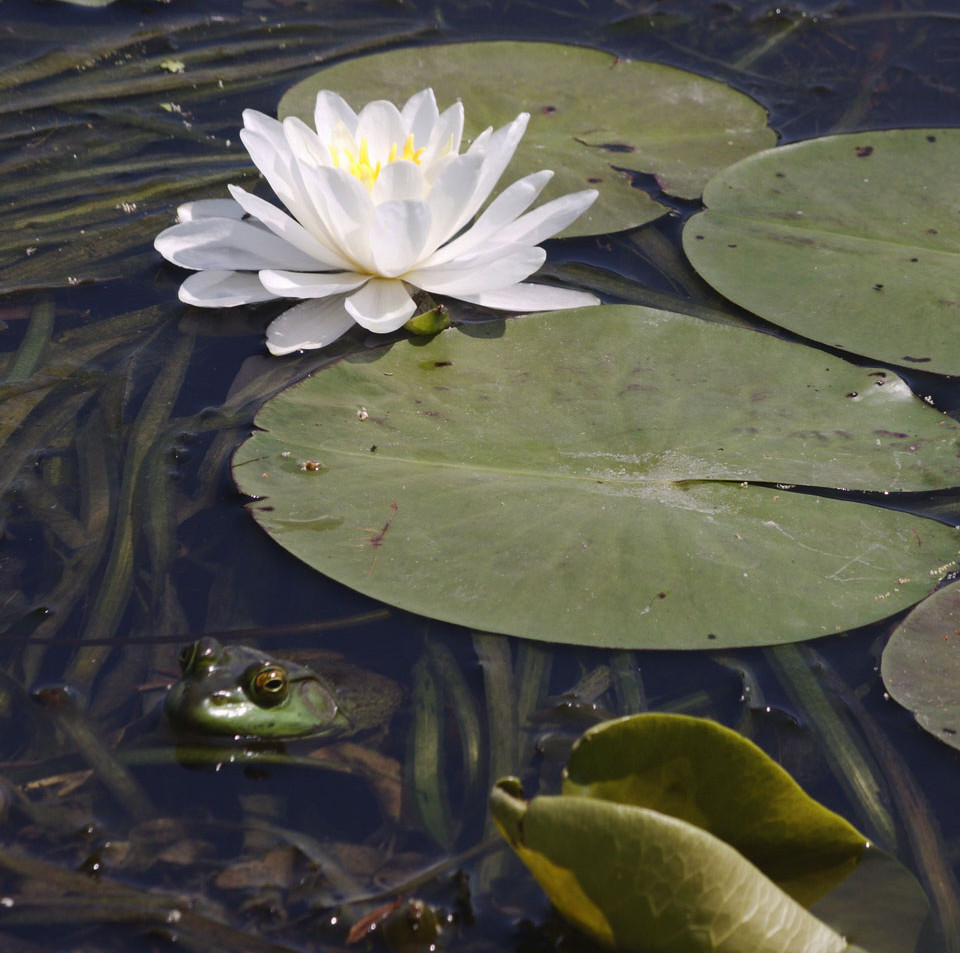 A Frog & A Lily Pad