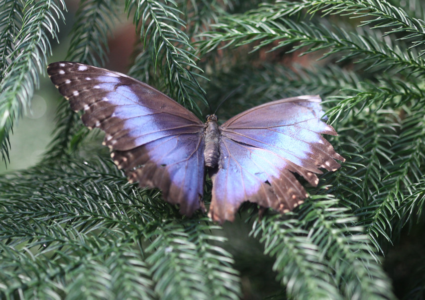 A Morpho In The Conifers