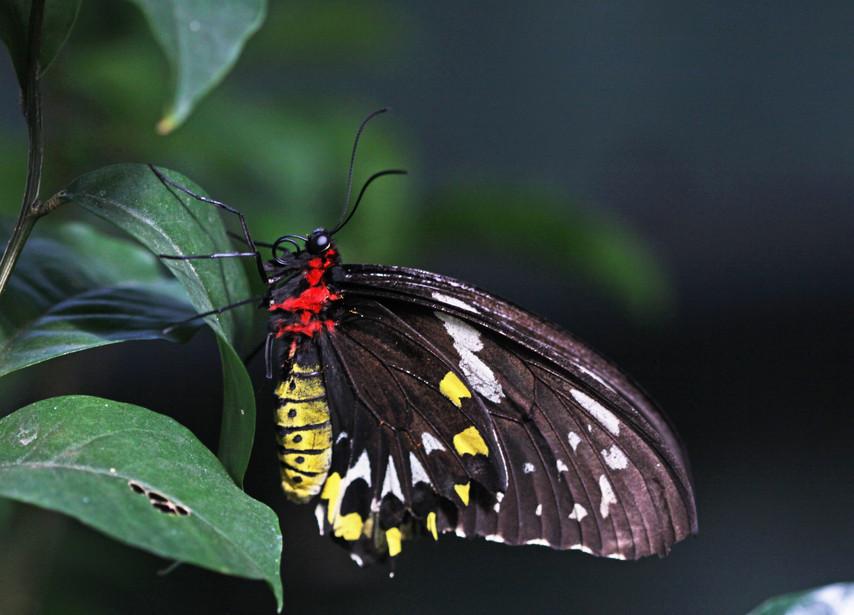 Another Female Birdwing