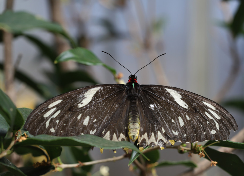 See A Birdwing From The Dorsal Side