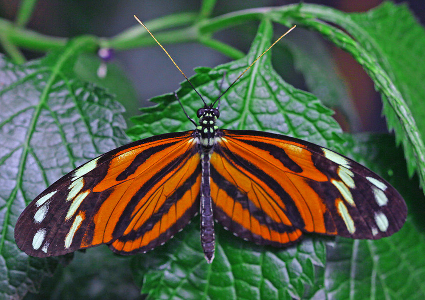 Imenius Longwing (Dorsal view)