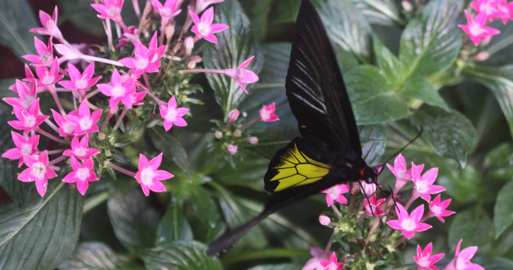 An Uncommon Common Birdwing