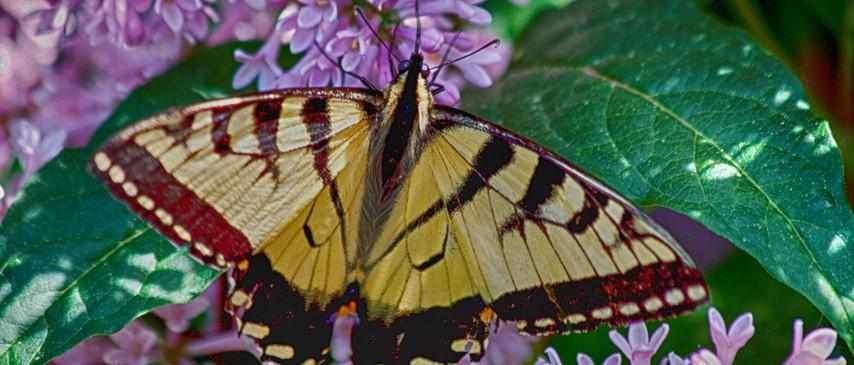 A Tiger swallowtail