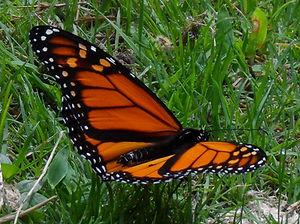 SAM_0335 Cr Monarch CrRx.jpg