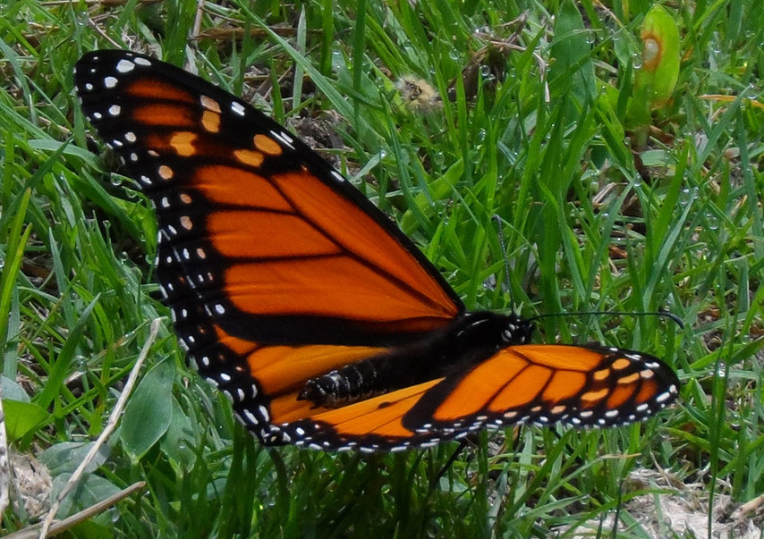 A Magnificent Monarch