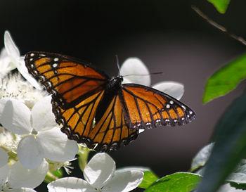A Viceroy Butterfly