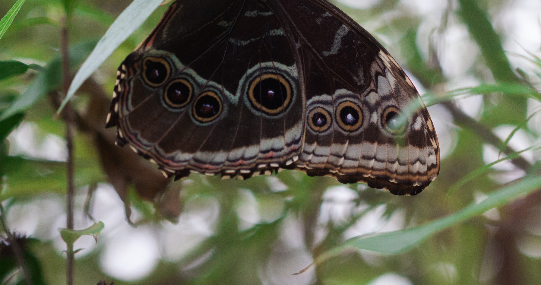 A Blue Morpho (Ventral side)
