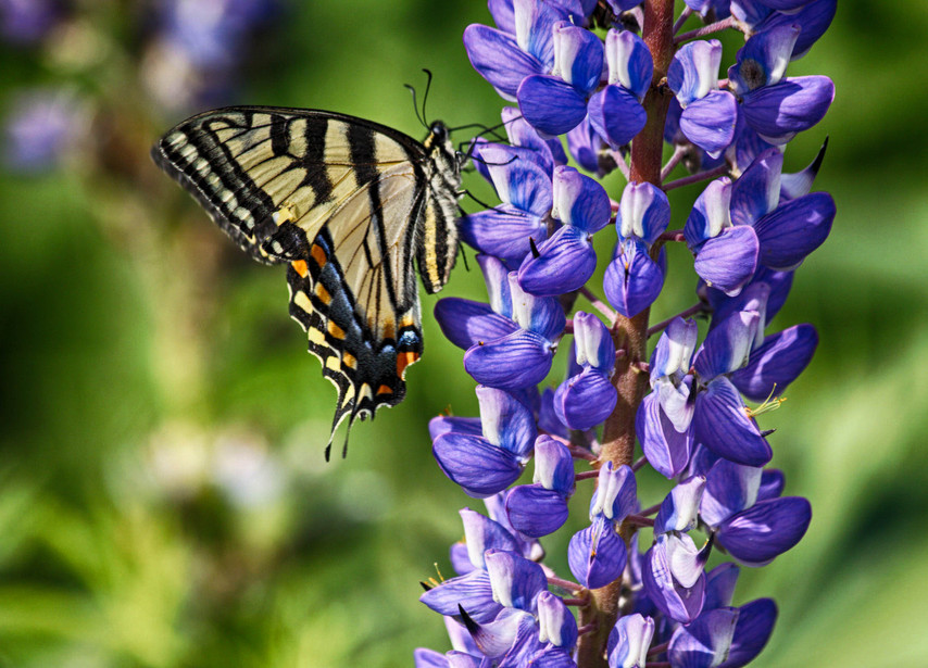 A Handsome Swallowtail