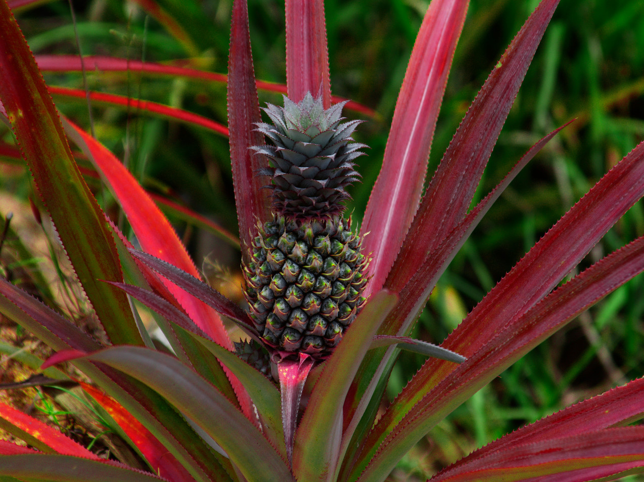 A Pineapple Along The Road