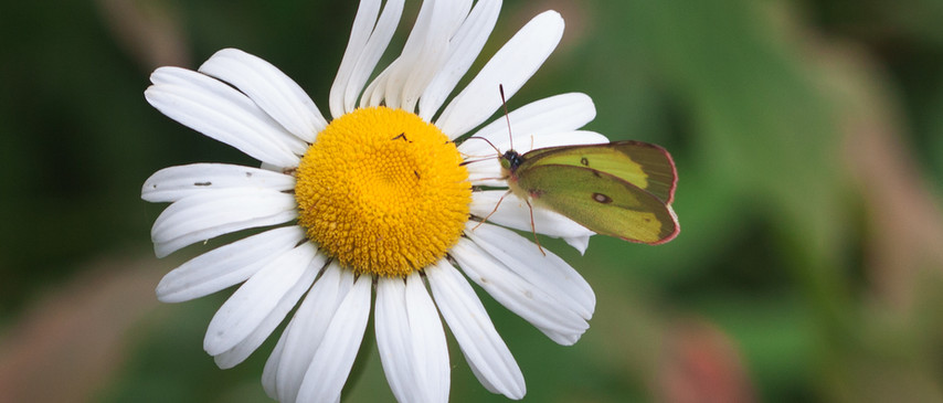A Sulphur And A Wildflower