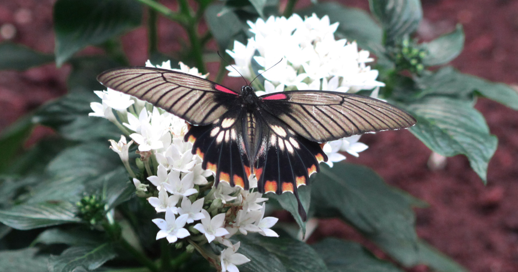 A Yellow Mormon