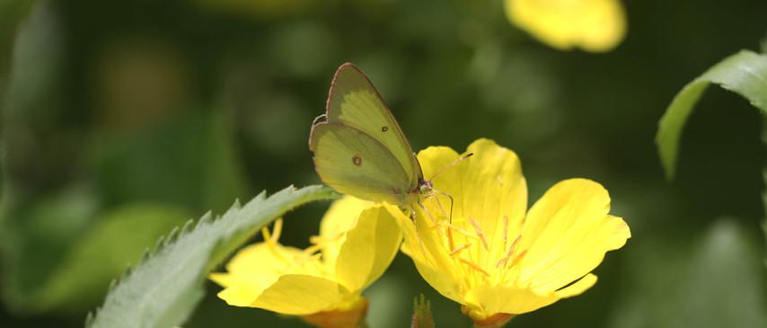 A Sulphur Among The Flowers