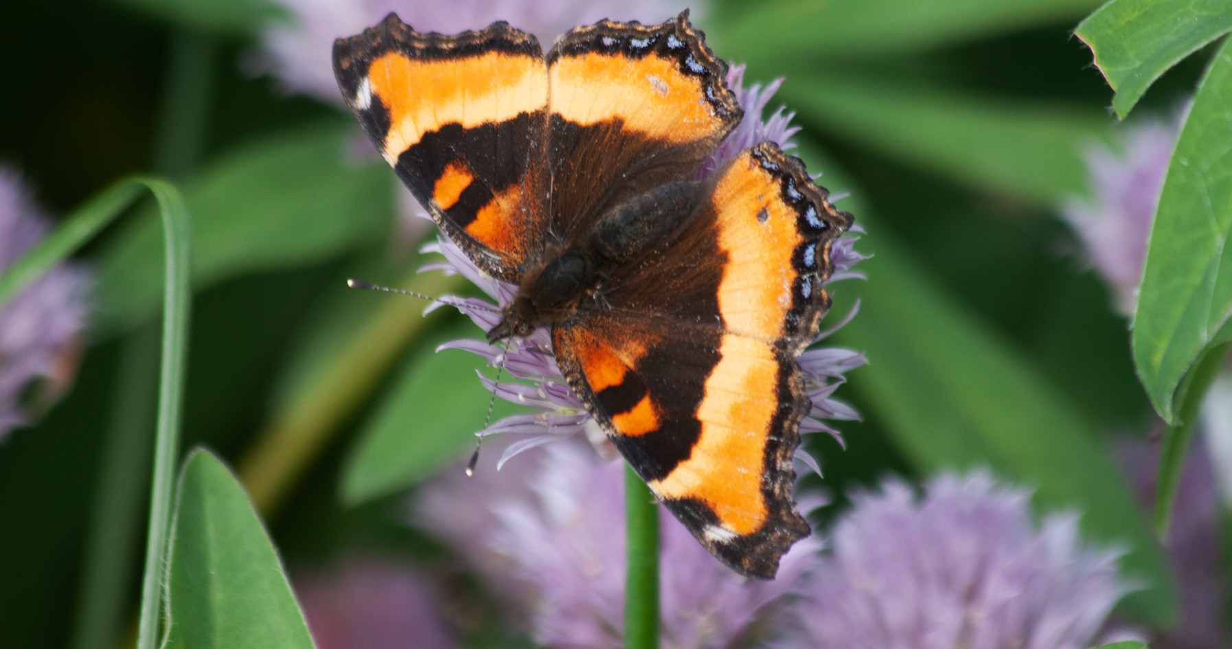A Beautiful Tortoiseshell