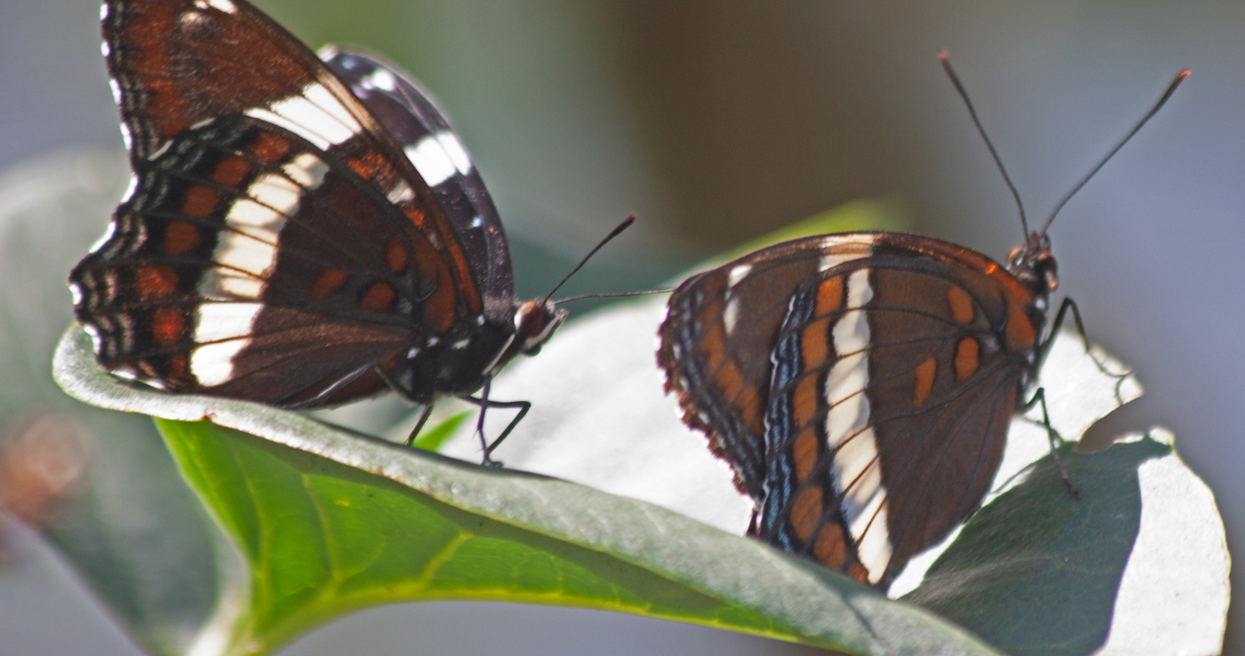 That White Admiral Pair