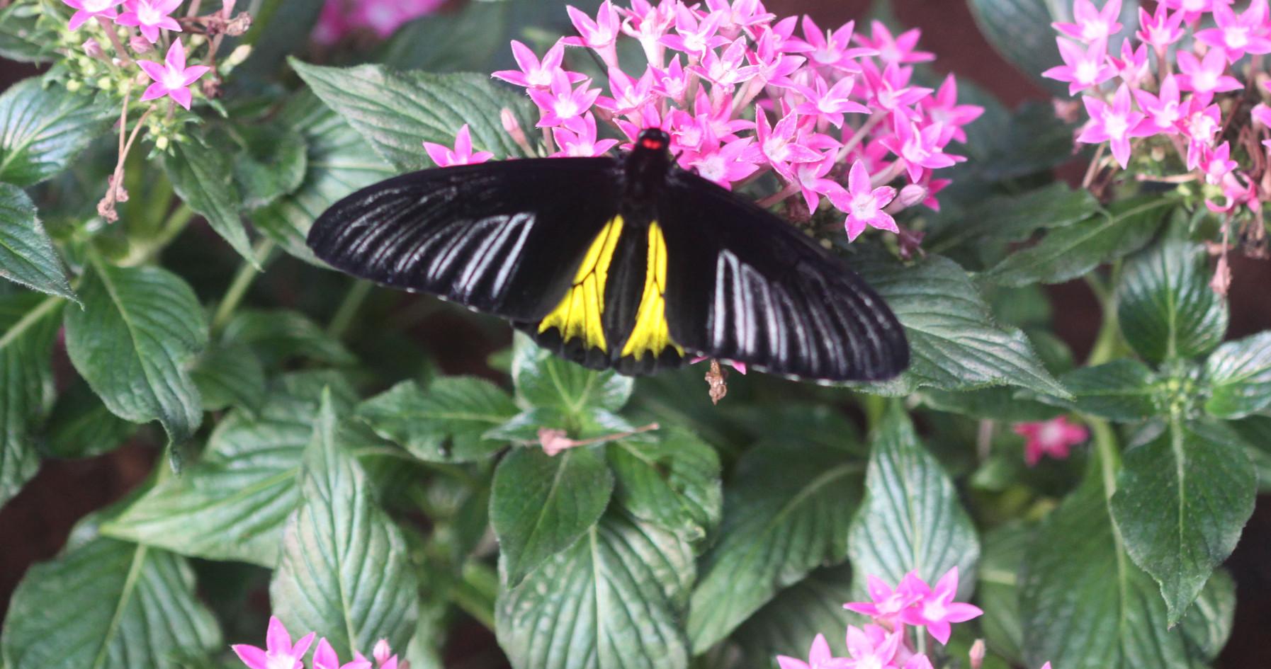 A Common Birdwing (Dorsal side)
