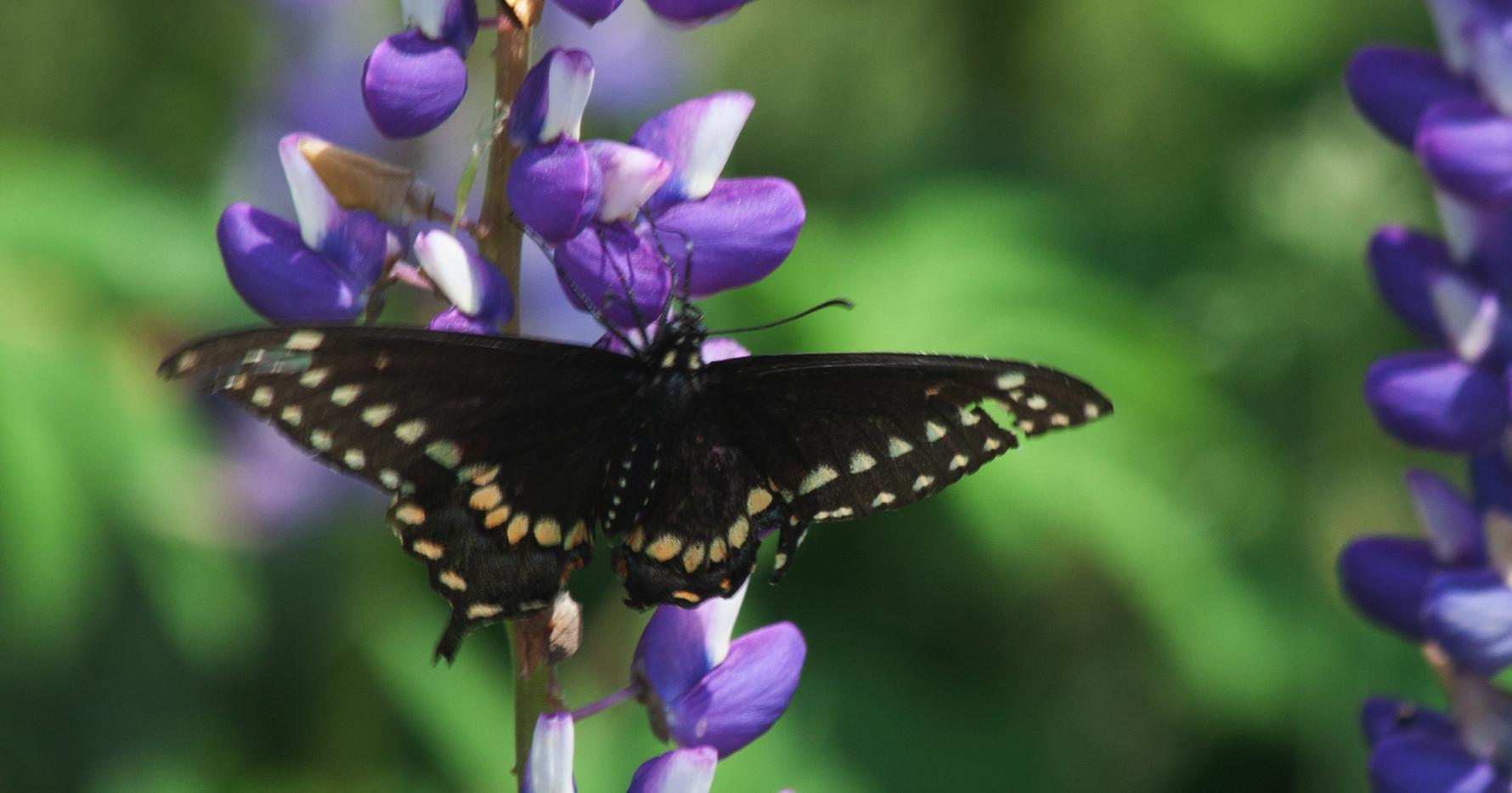 Eastern Black Swallowtail / Dorsal Side