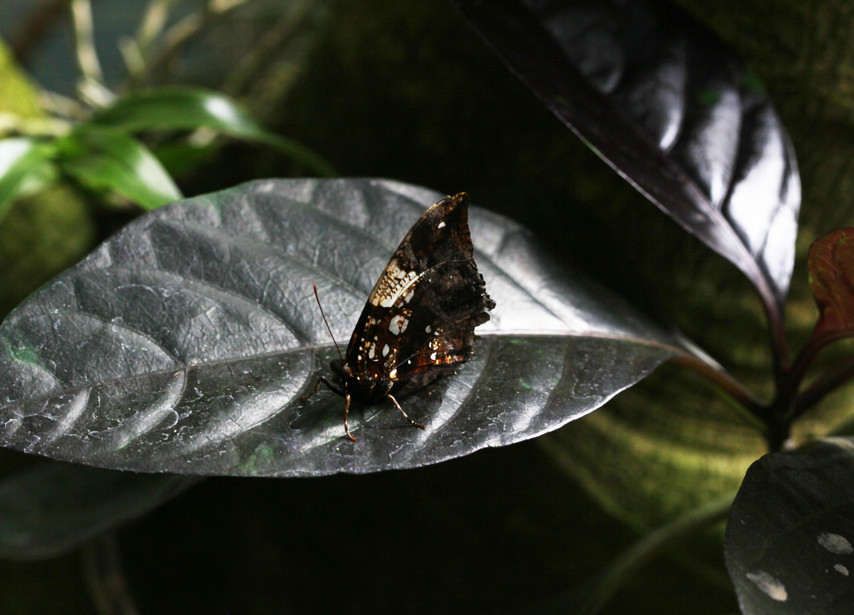 Meet The Silver Studded Leaf Wing