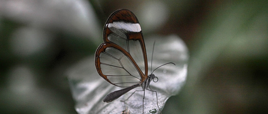 A Handsome Glasswing