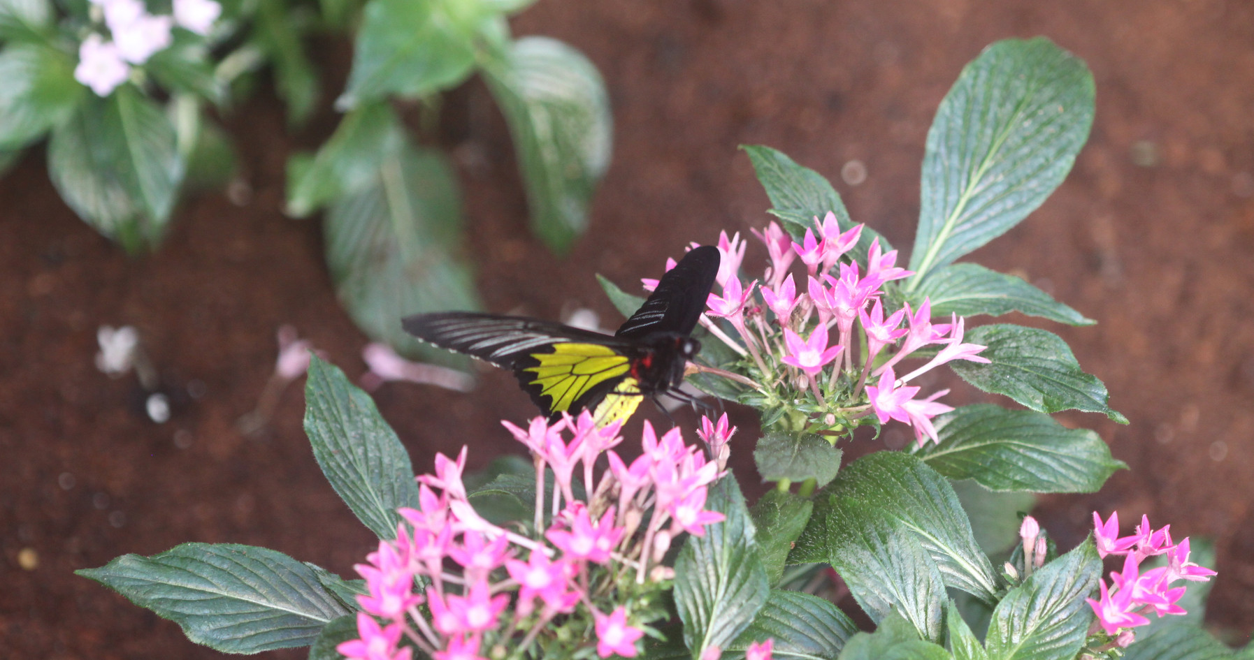 A Very Common Birdwing