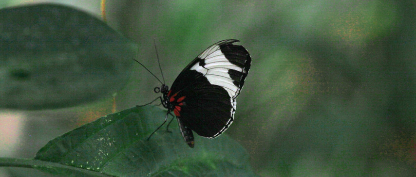 Another Longwing Variant ( Heliconius sapho )