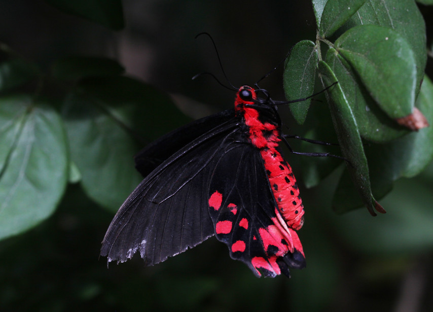 A Batwing Swallowtail