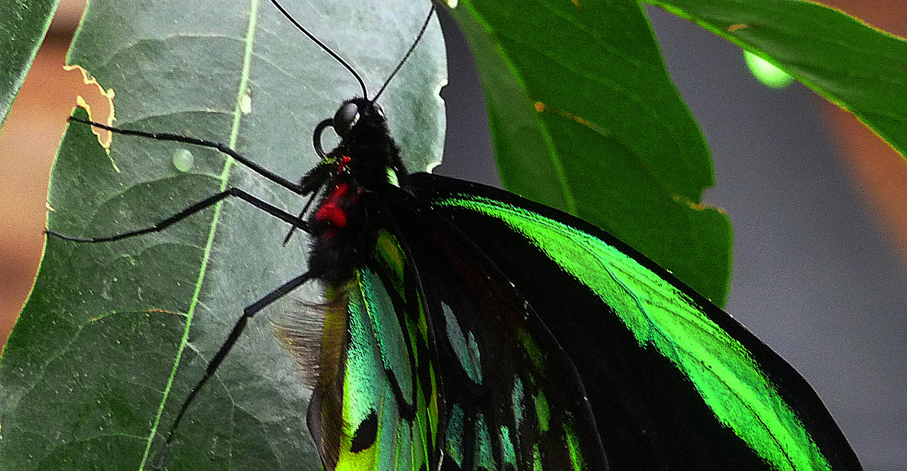 A Green Birdwing
