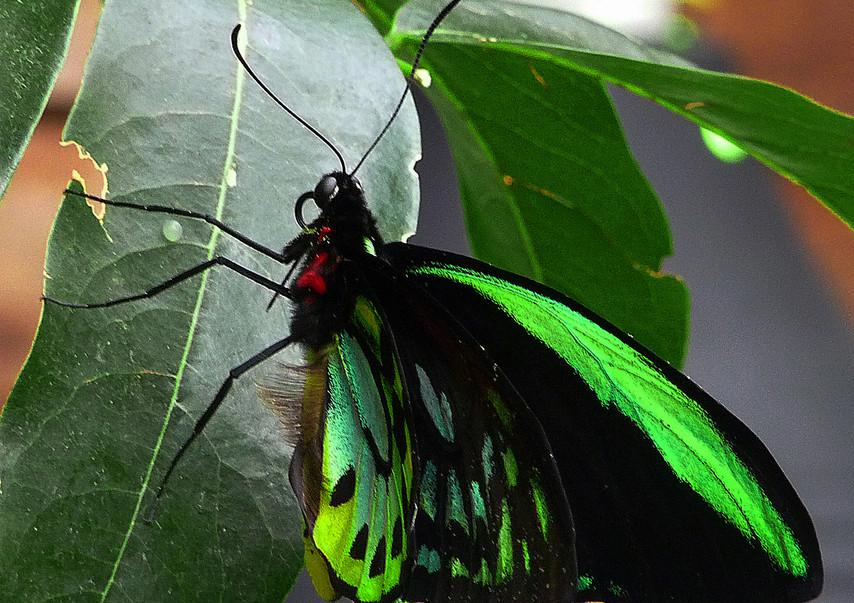 A Green Birdwing