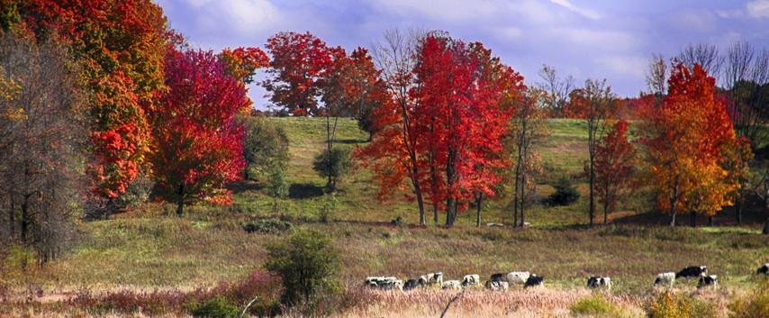 A Dairy Herd In Autumn
