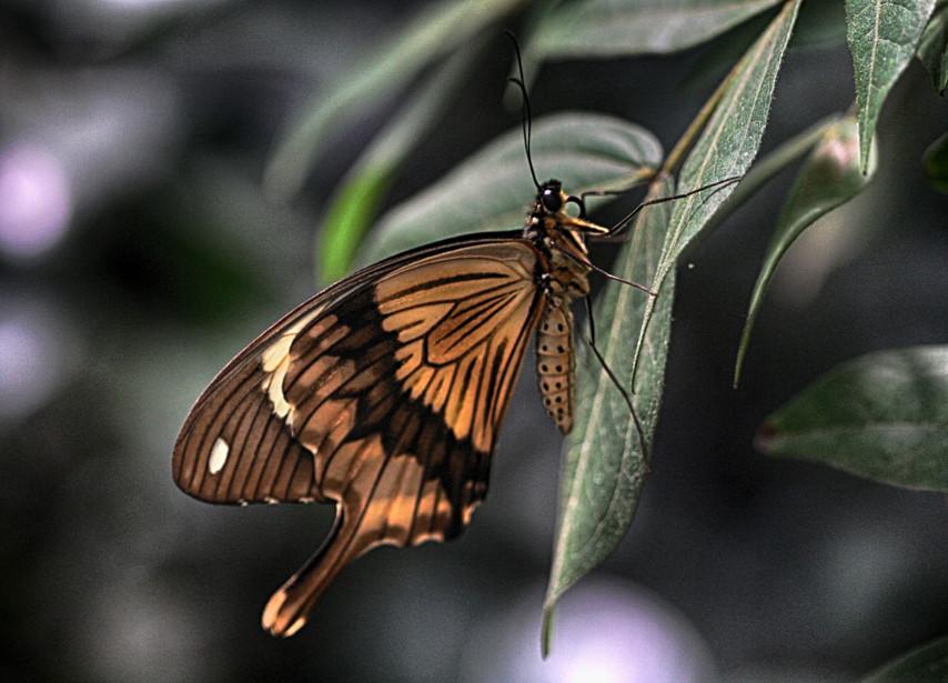 Mocker Swallowtail (Variant - Ventral side)