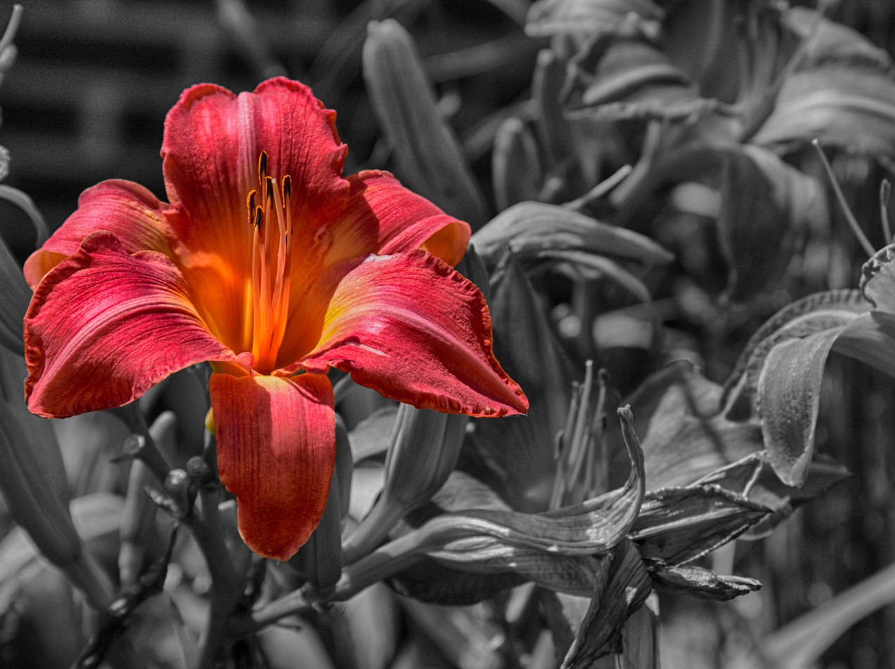 A Tiger Lily