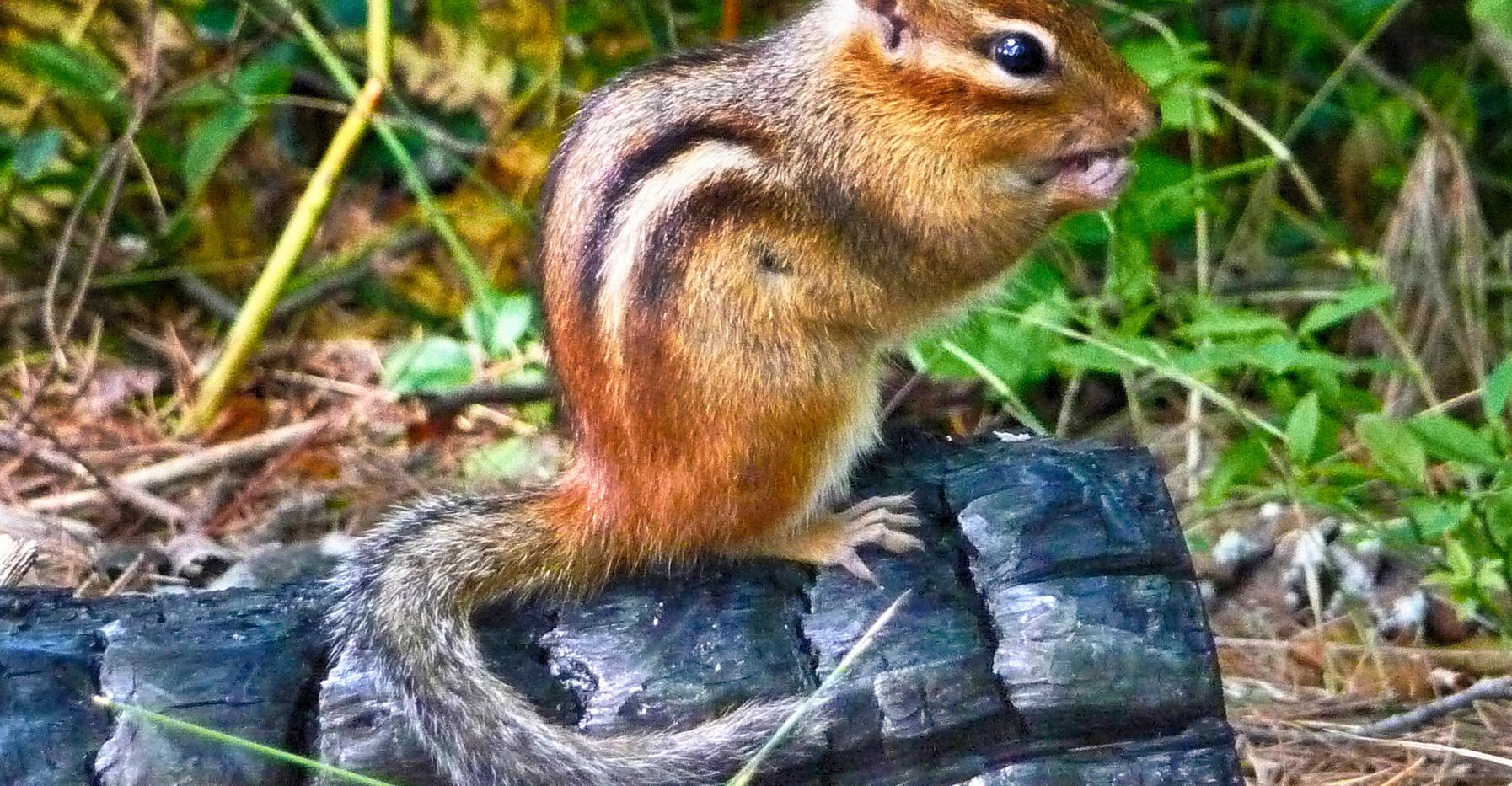 A Chipmunk on A Charred Log