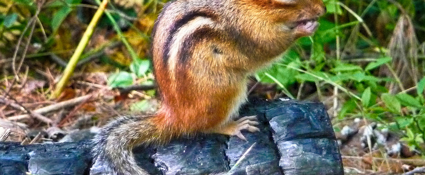 A Chipmunk on A Charred Log