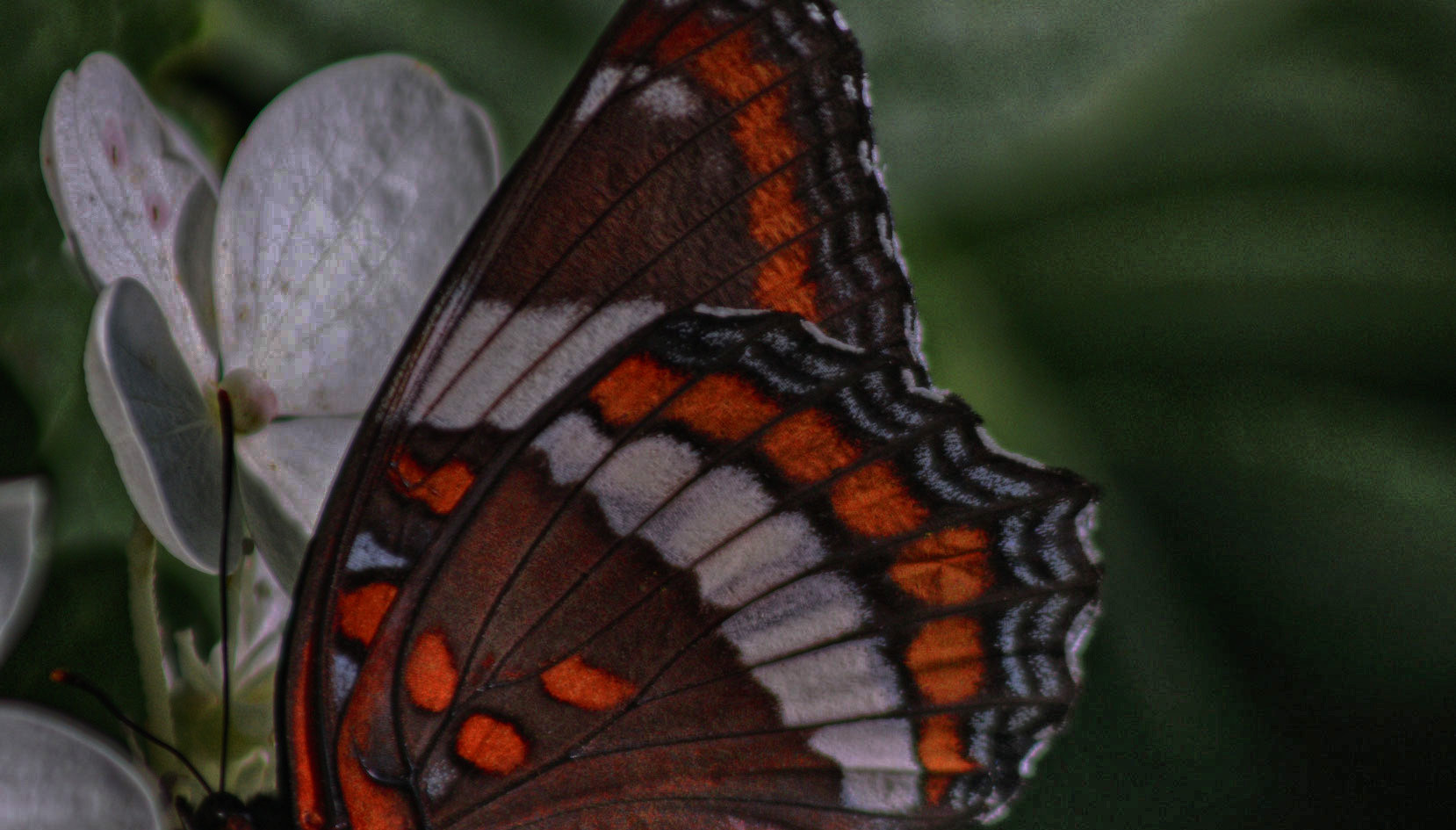 A Vertical White Admiral