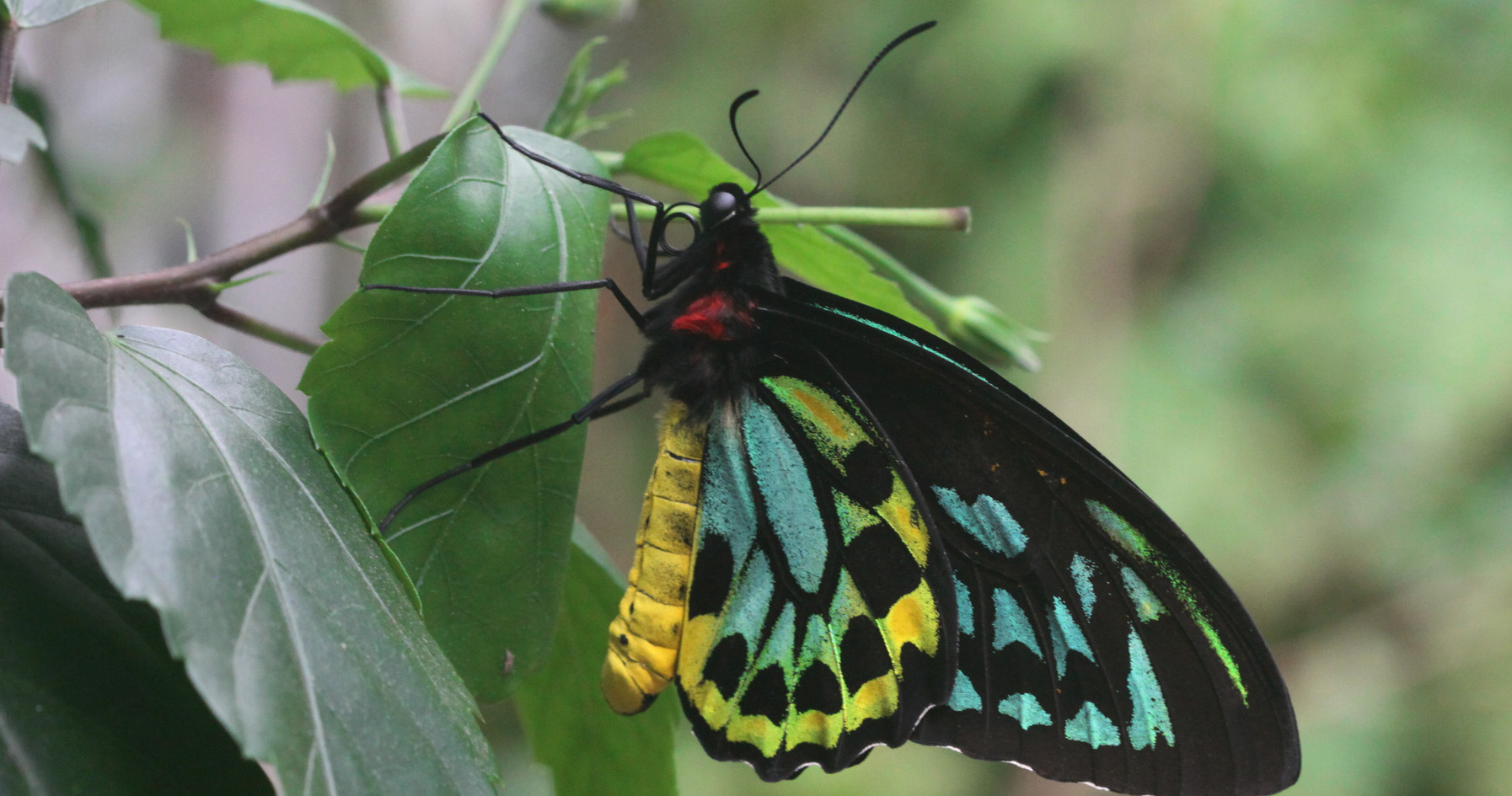 A Large Birdwing