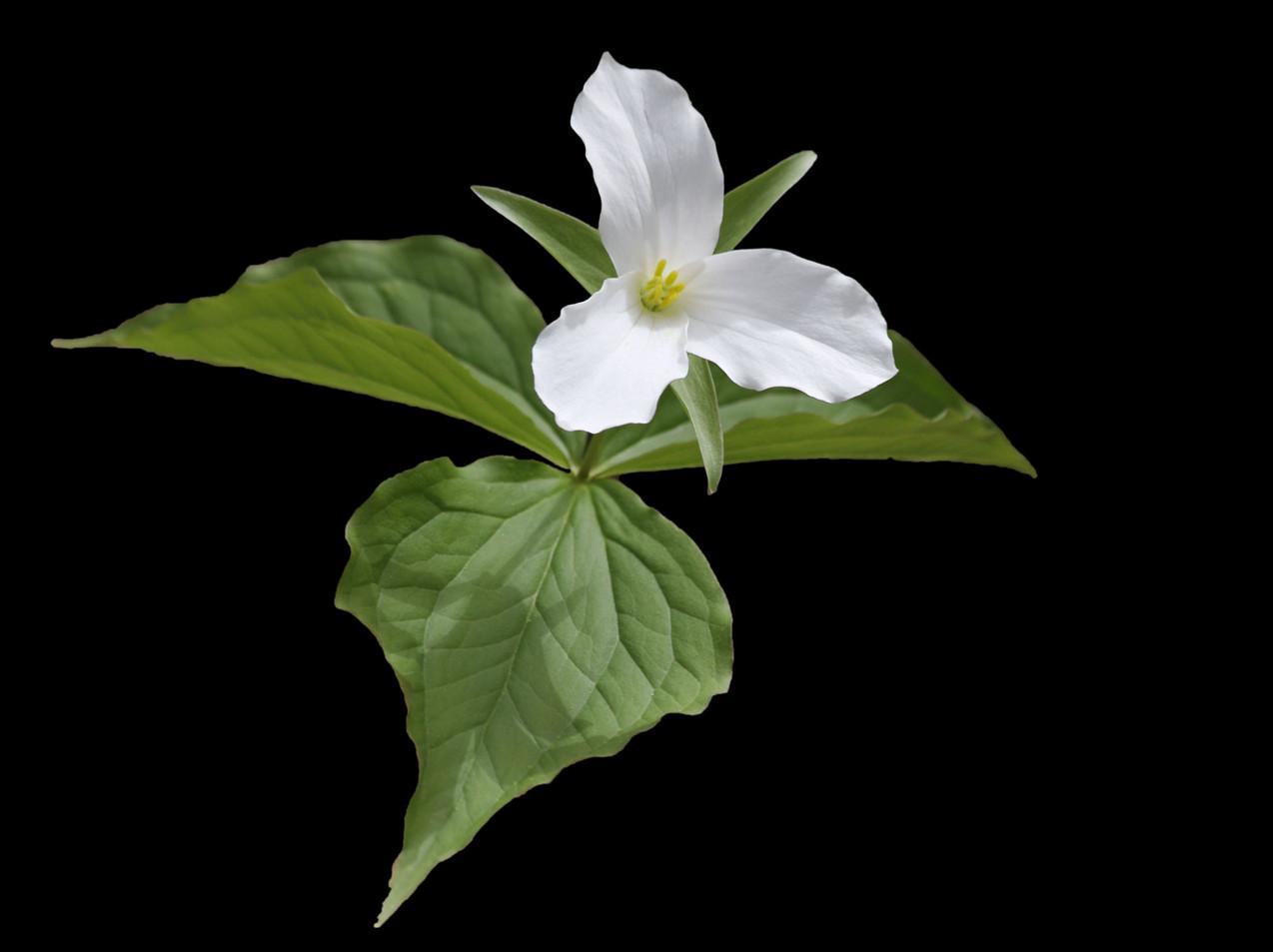 A White Trillium