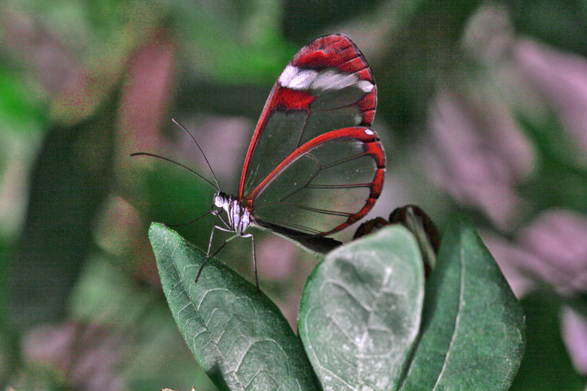 A See - Thru Butterfly