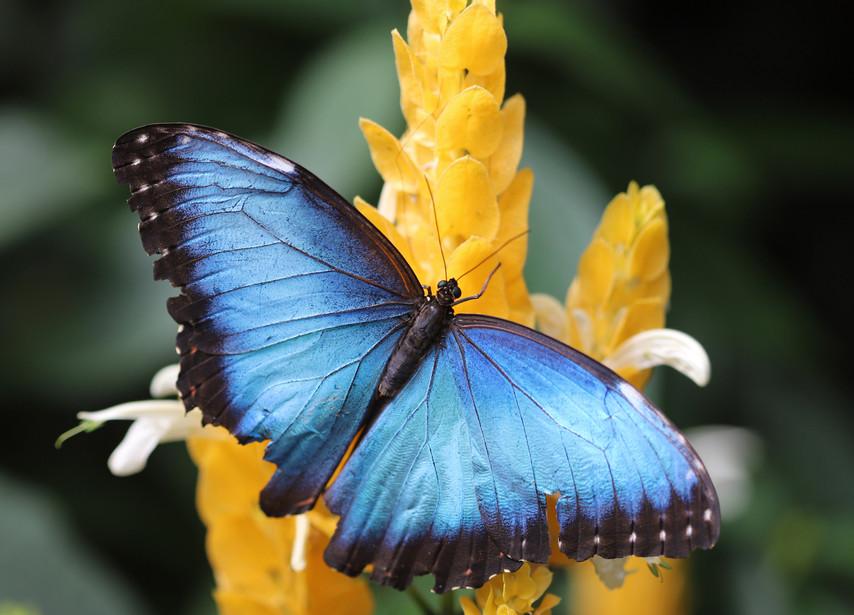 A Blue Morpho On A Flower