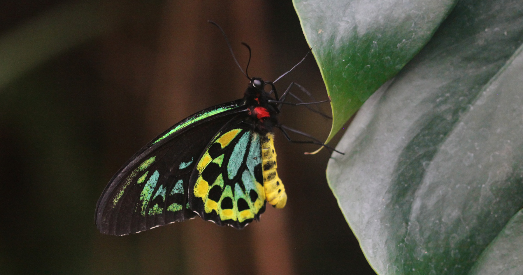 A Birdwing