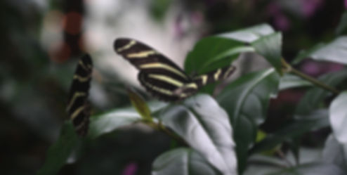 Go to our Indigenous and Exotic butterfly galleries.
