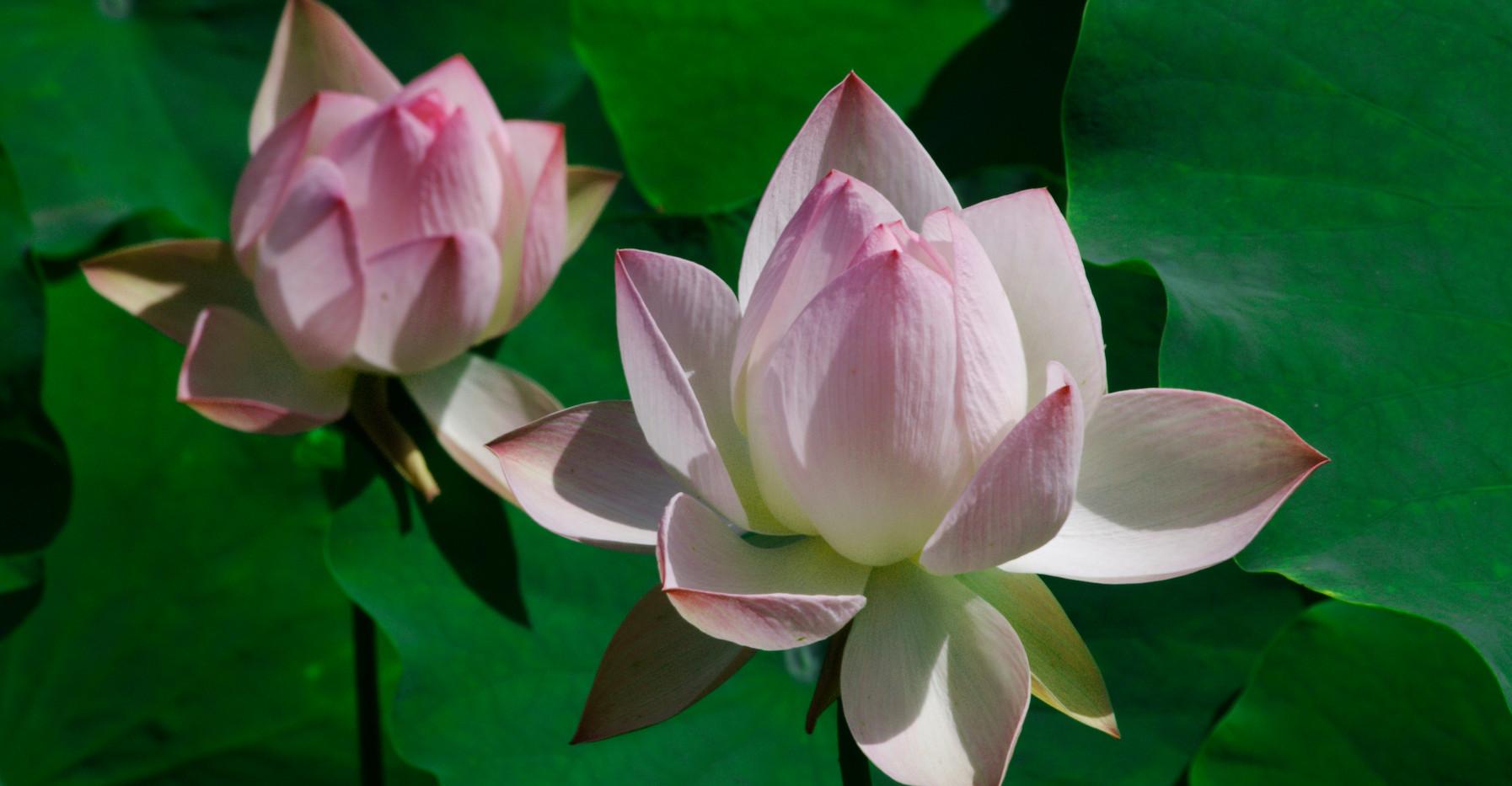 Pink & White Lotus Flowers.