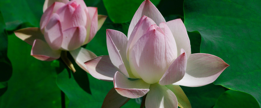 Pink & White Lotus Flowers.
