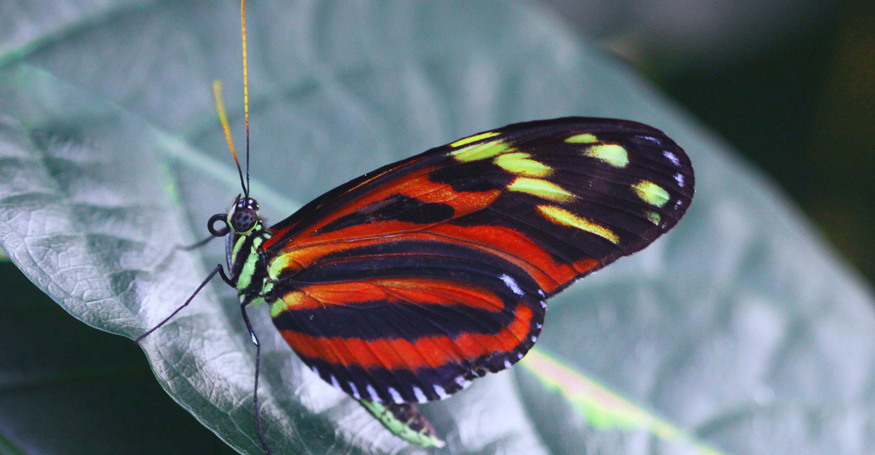 Imenius Longwing