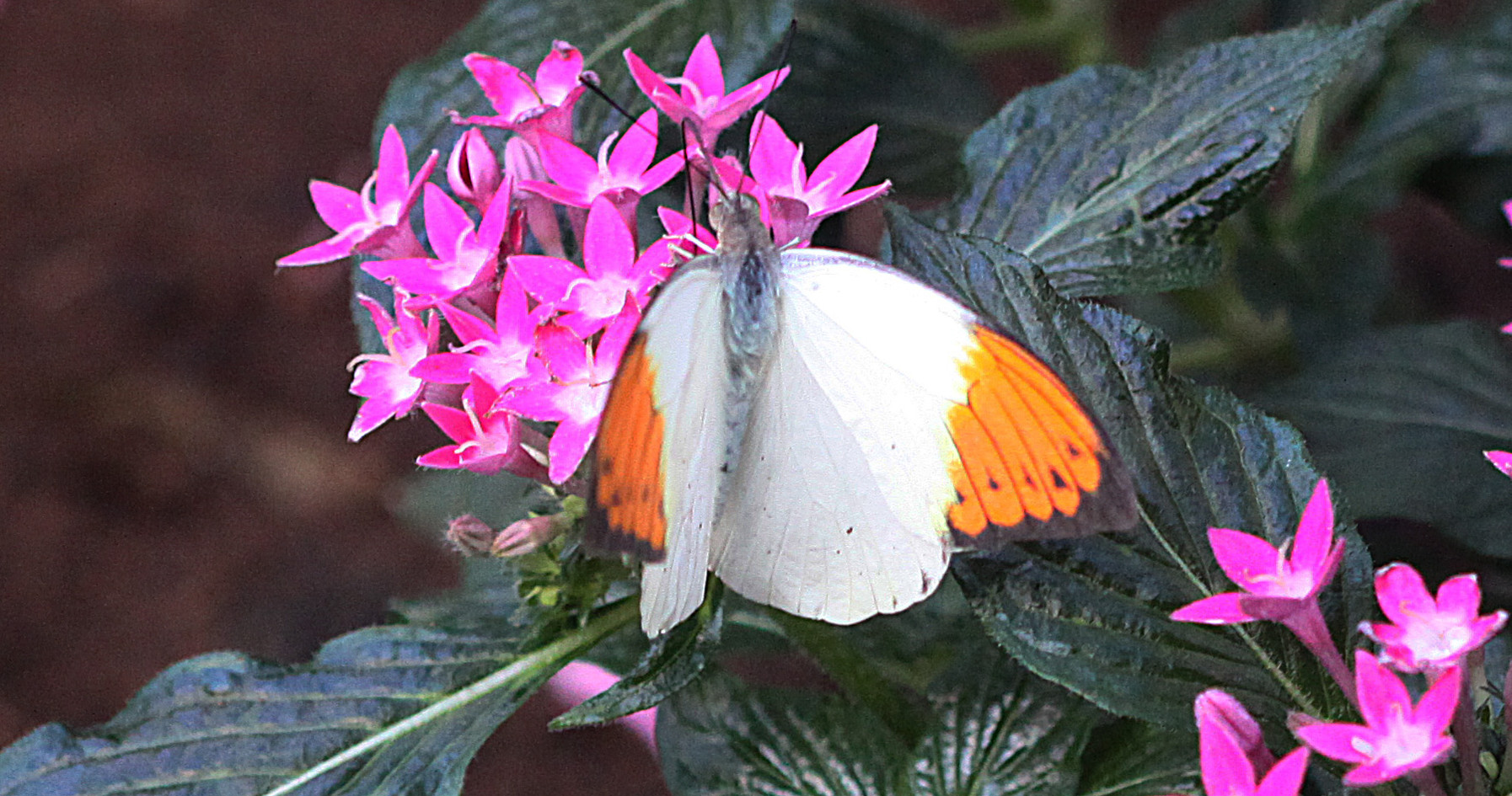 A Beautiful Orange Tip