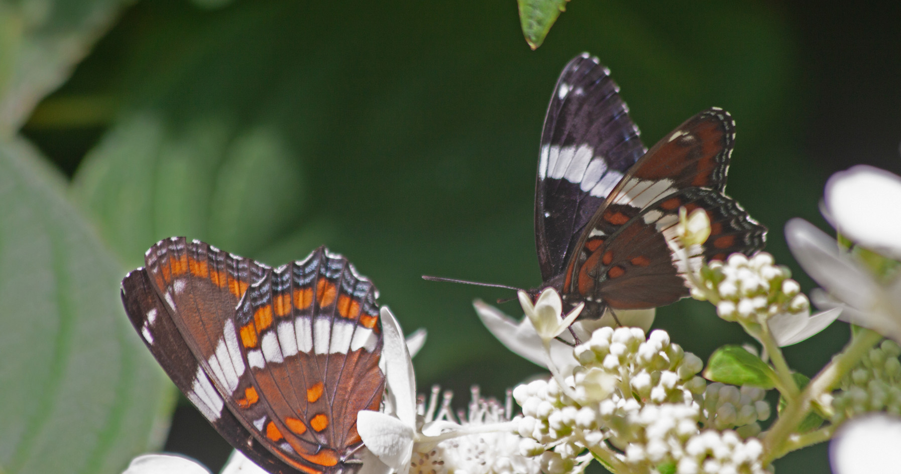 A Pair Of White Admirals