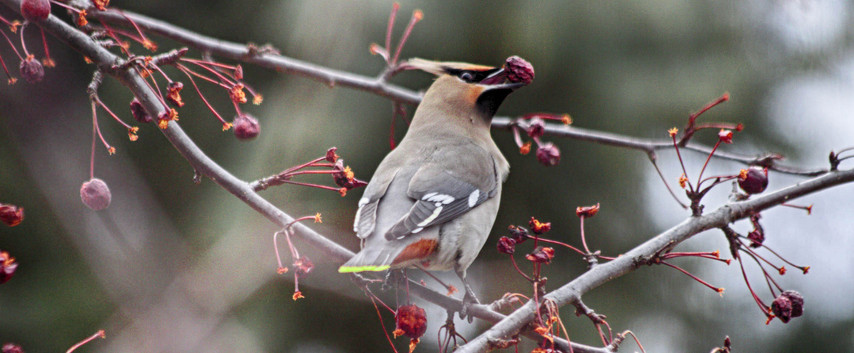 A Hungry Waxwing