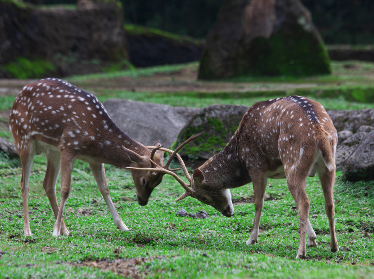 Battling Roe Bucks
