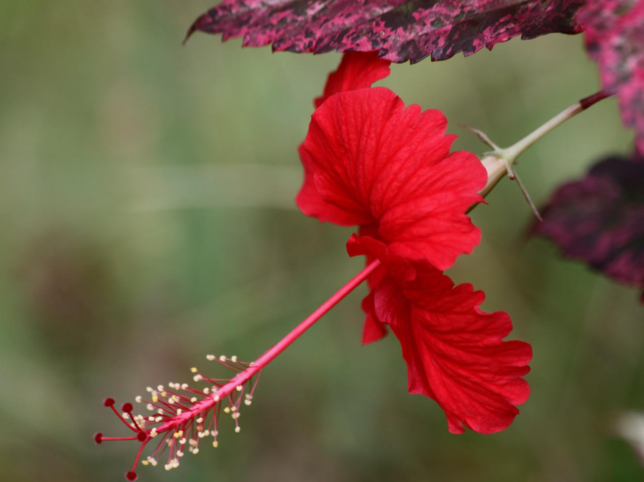 Hibiscus Rosa Sinensis Profile