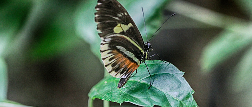 A Ventral Longwing