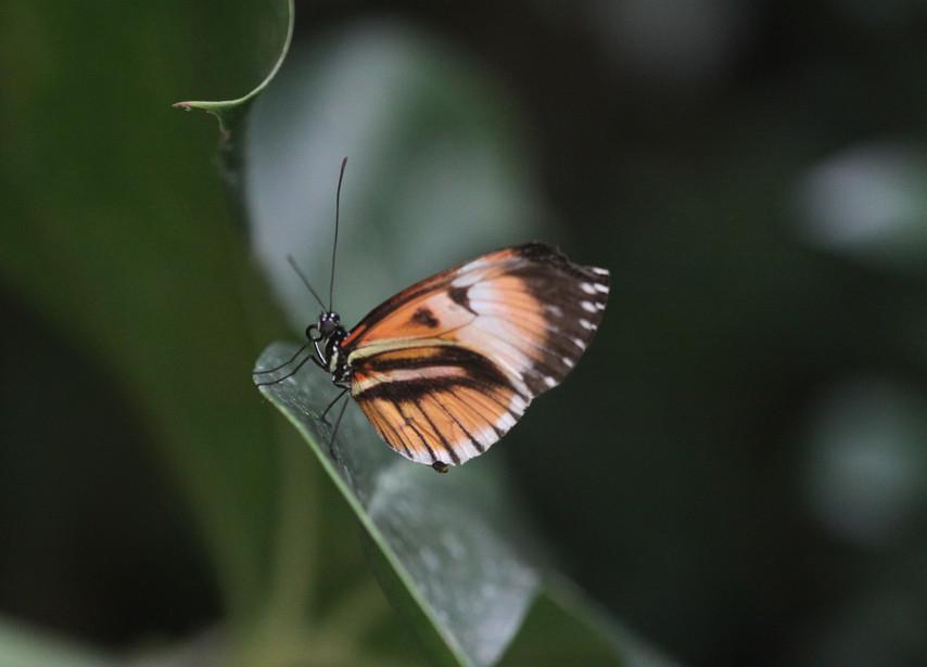A Single Longwing