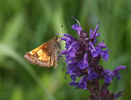 A Skipper butterfly.
